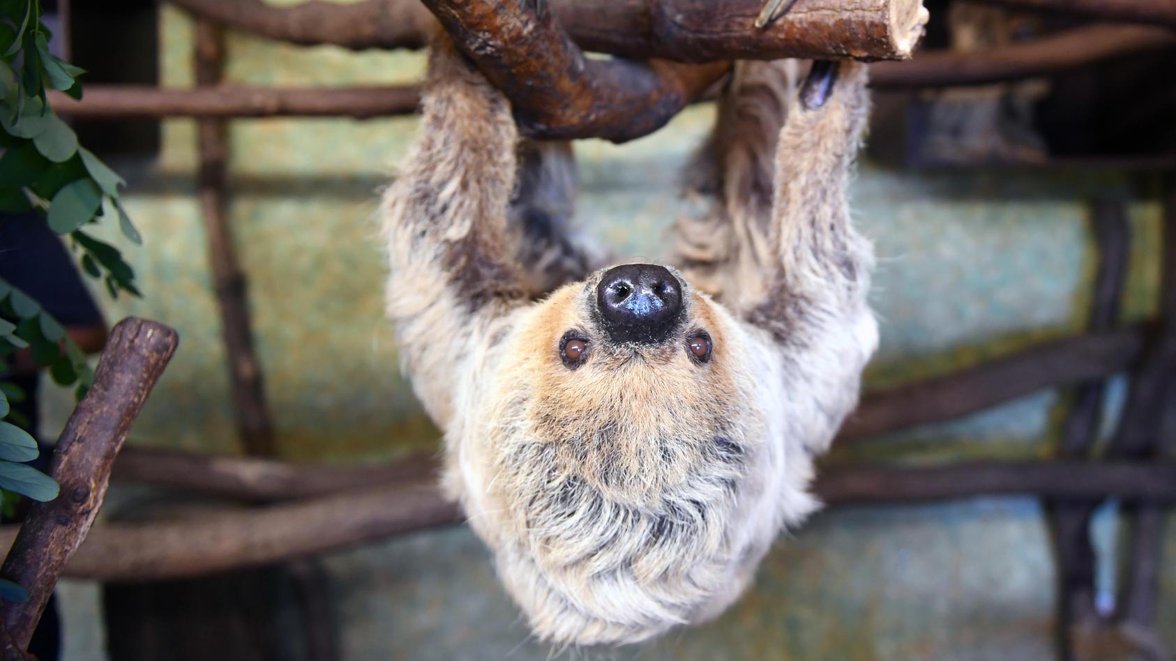 Das Faultier Paula im Zoo von Halle/Saale. Foto: Hendrik Schmidt/zb/dpa