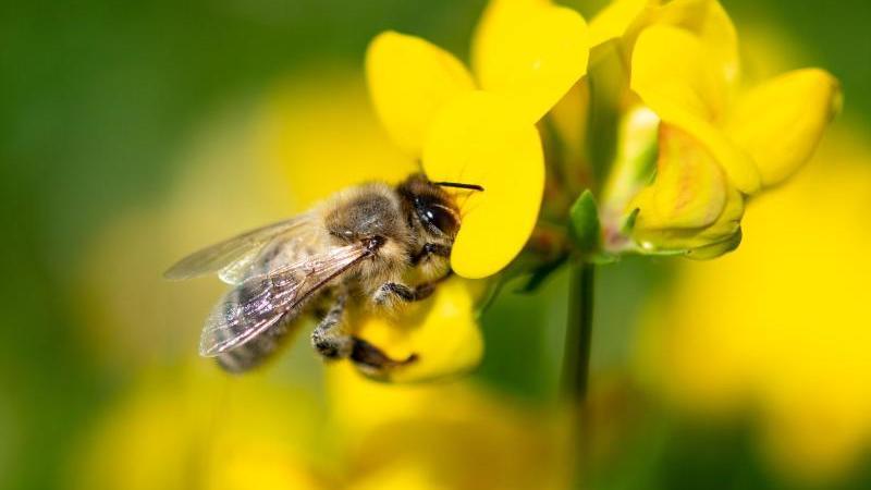 Eine Biene zieht Nektar aus einer gelben Wiesenblume. Foto: Fabian Sommer/dpa/Archivbild