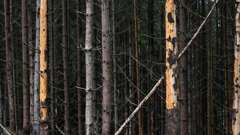 Abgestorbene Fichten stehen im Wald. Foto: Uwe Zucchi/dpa/Archivbild