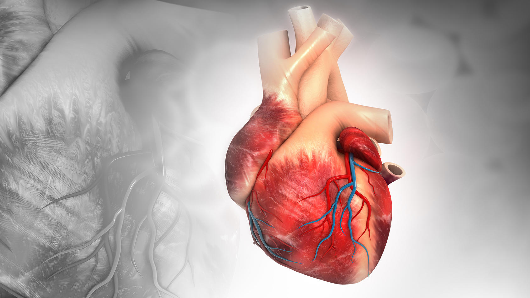 Sauerstoff und Nährstoffe erhält das Herz über die Herzkranzgefäße