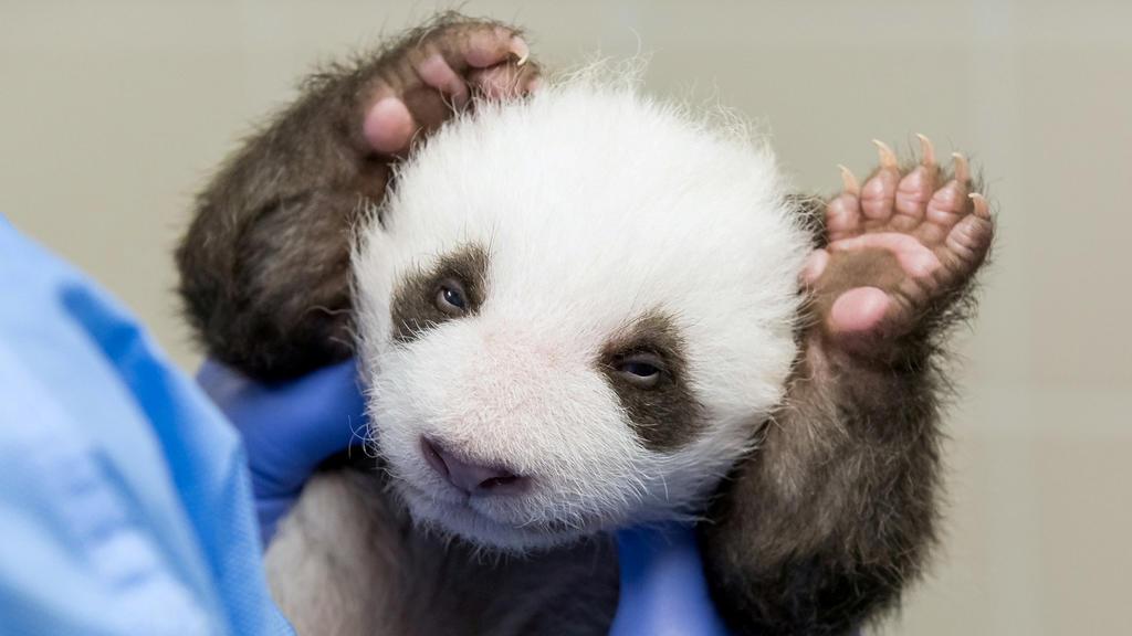 Panda Babys Berliner Zoo machen zum ersten Mal Augen auf