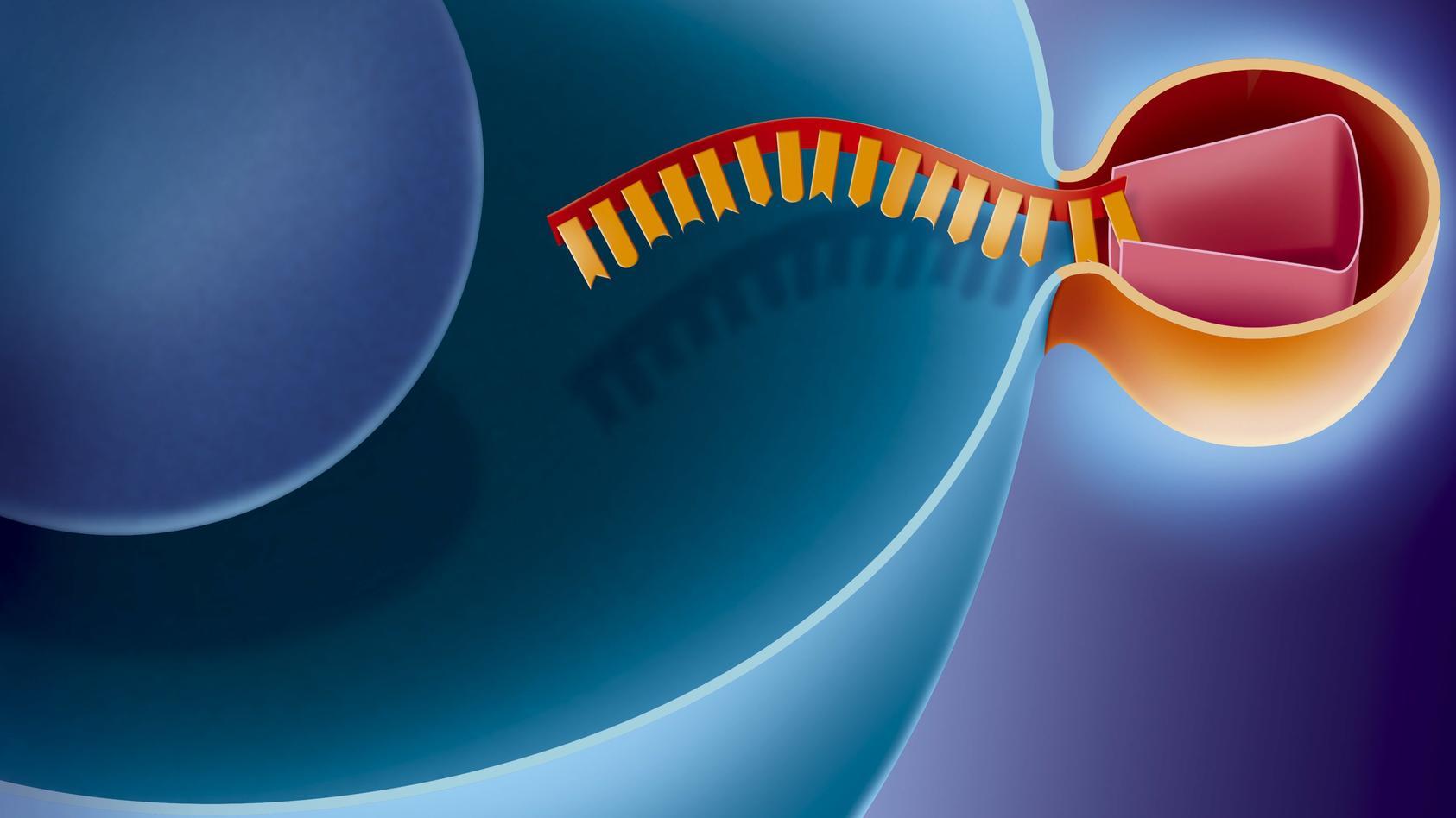 Eindringen eines Virus (orange) in einen menschlichen Zellwirt (blau).