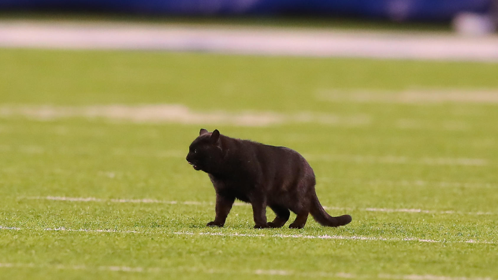 EAST RUTHERFORD, NJ - NOVEMBER 04: A Black Cat runs onto the field during the second quarter of the National Football L