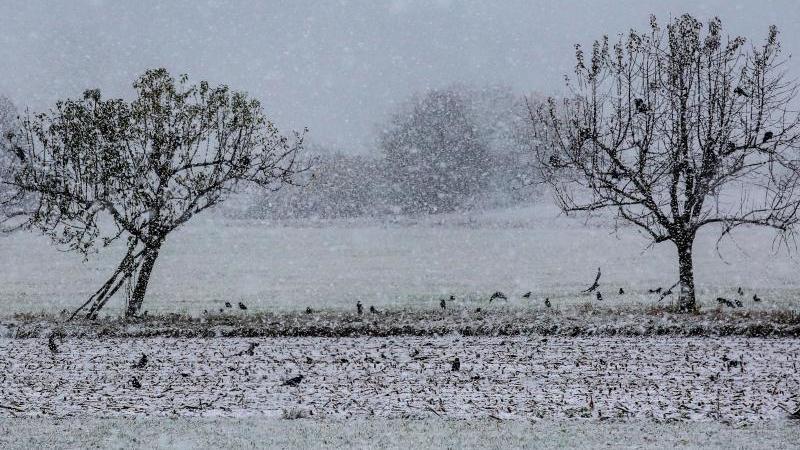 Krähen sitzen bei starkem Schneefall auf Bäumen und auf einem Feld auf der Schwäbischen Alb. Foto: Thomas Warnack/dpa