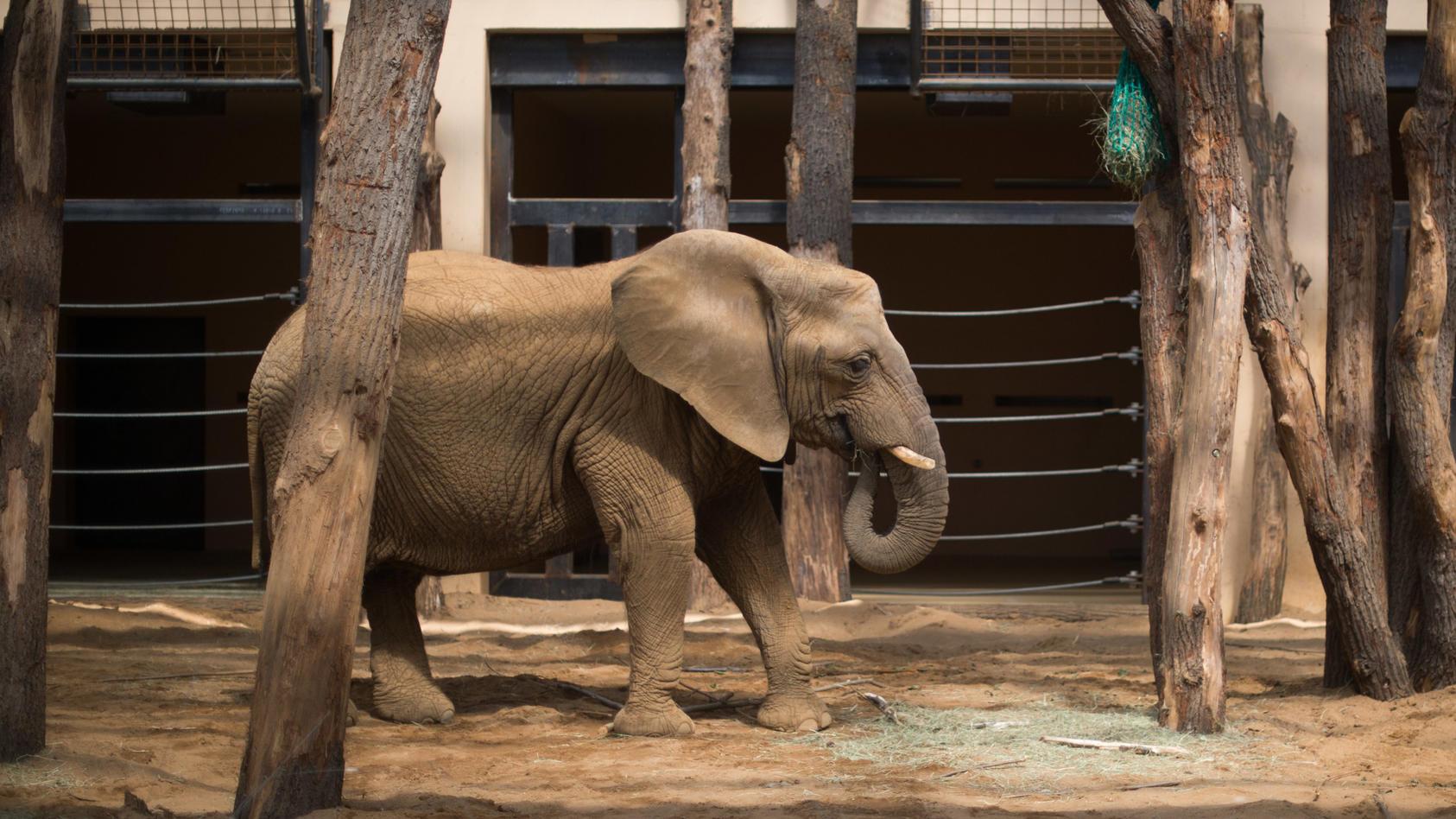 Unfall im Zoo: Elefantendame Mwana hat sich ihren  Rüssel in einem Tor eingeklemmt.