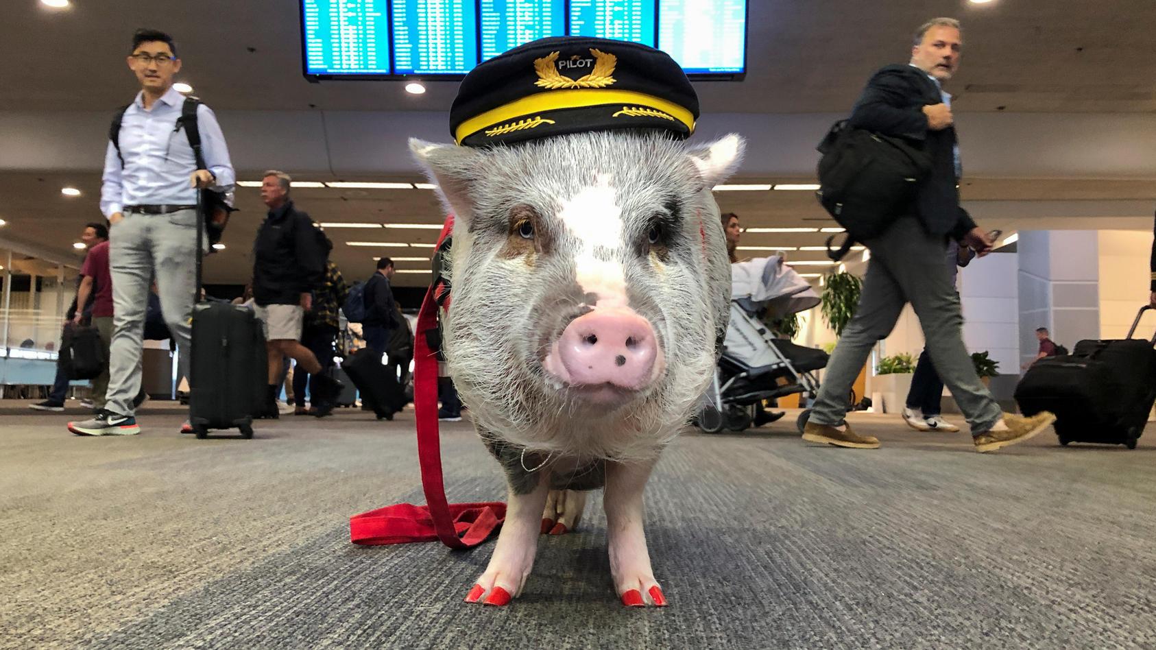 LiLou ist ein Therapieschwein - wegen ihres großen Erfolgs am Flughafen in San Francisco, wird die Aktion auf 50 weitere Städte ausgeweitet.