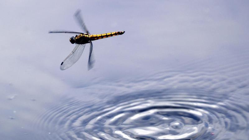 Eine Libelle fliegt über die Wasseroberfläche der Havel. Foto: Jens Büttner/zb/dpa
