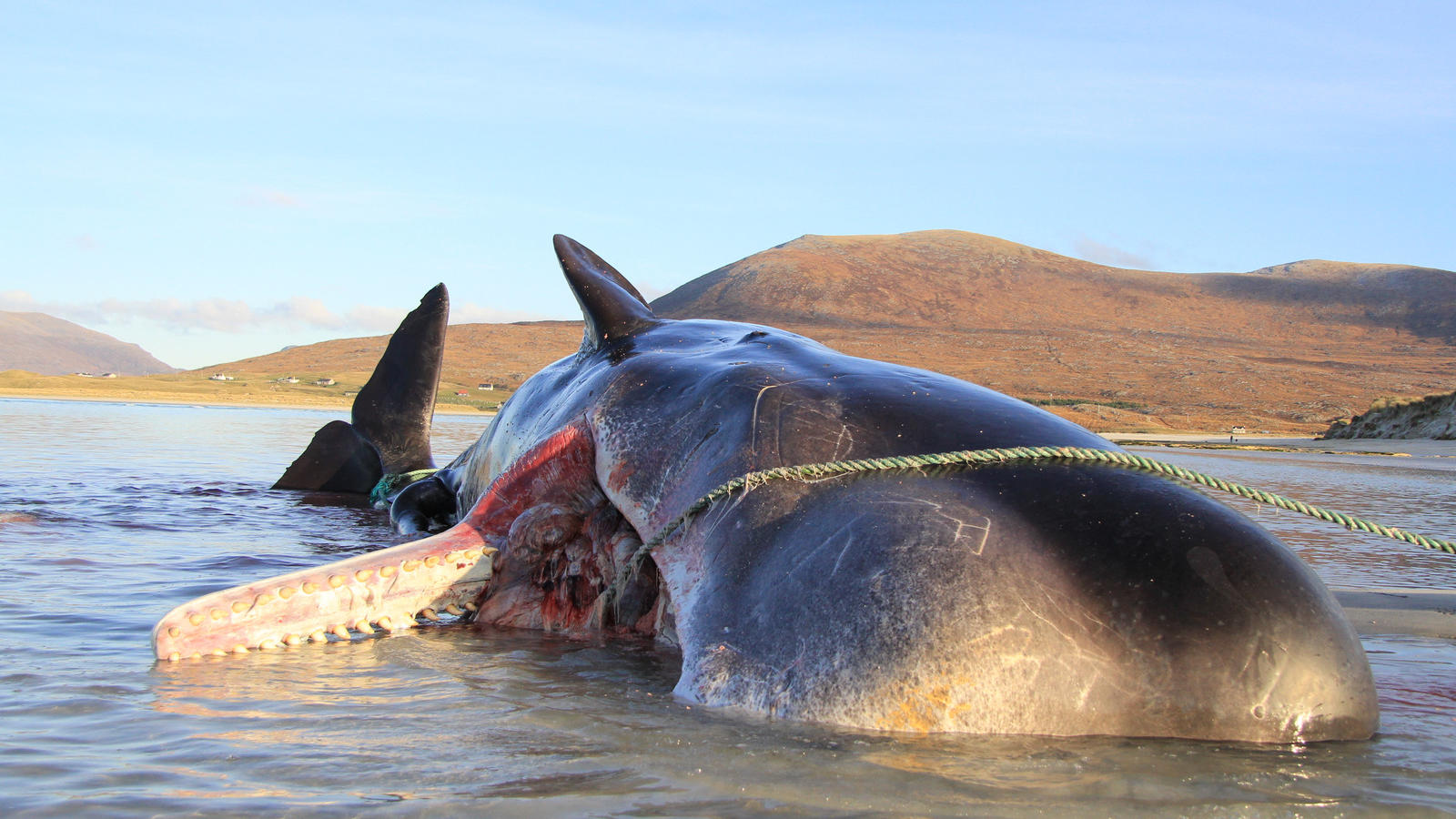 Der Wal am Strand von Luskentyre.