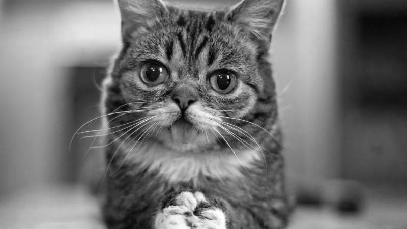 Die Katze Lil Bub. Zwei seltene genetische Veränderungen lassen die von Millionen Internetnutzern bestaunte Katze Lil BUB besonders putzig aussehen. Foto: Mike Bridavsky/lilbub.com