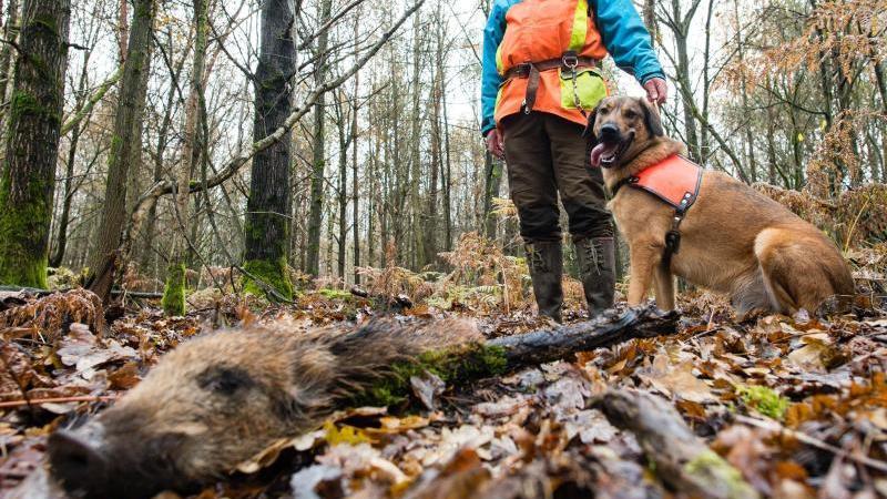 René Wiese und sein Hund Otto stehen neben einem Stück Wildschwein, das Otto beim Training im Wald gefunden hat. Otto ist ausgebildet, tote Wildschweine aufzuspüren, die auf das Virus 'Afrikanische Schweinepest' (ASP) untersucht werden sollen. Foto: Olive