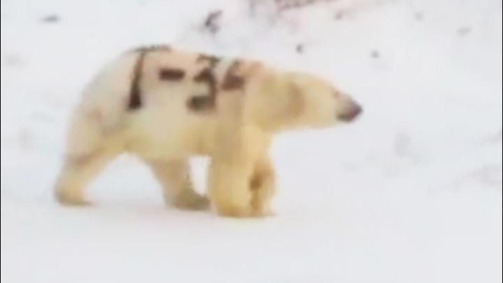 In Russland sind Bilder eines Eisbären aufgetaucht, den jemand mit schwarzer Farbe besprüht hat.