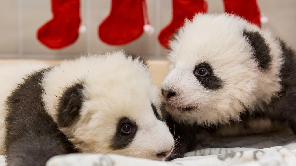 HANDOUT - 04.12.2019, Berlin: Die beiden Panda-Jungtiere aus dem ZooBerlin. Im Hintergrund hängen Nikolaus-Socken. Foto: ---/Zoo Berlin/dpa - ACHTUNG: Nur zur redaktionellen Verwendung im Zusammenhang mit der aktuellen Berichterstattung und nur mit