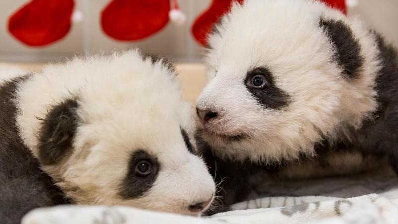 Die beiden Panda-Jungtiere aus dem ZooBerlin. Im Hintergrund hängen Nikolaus-Socken. Foto: ---/Zoo Berlin/dpa