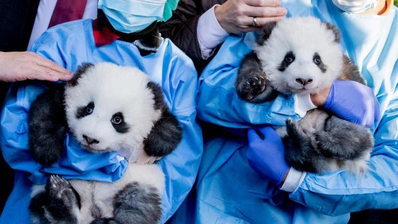 "Die Panda-Zwillings-Männchen ""Meng Yuan"" (l) und ""Meng Xiang"" im Berliner Zoo. Foto: Christoph Soeder/dpa"