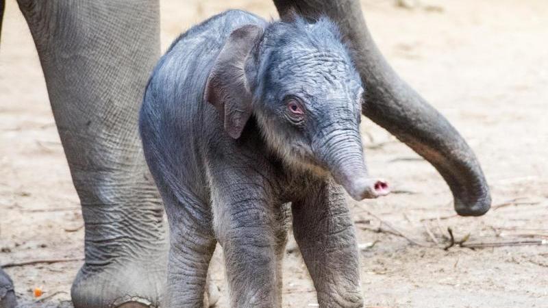 """Der kleine Elefant """"Santosh"""" läuft vor seiner Mutter. Foto: Daniel Bockwoldt/dpa/Archivbild"""