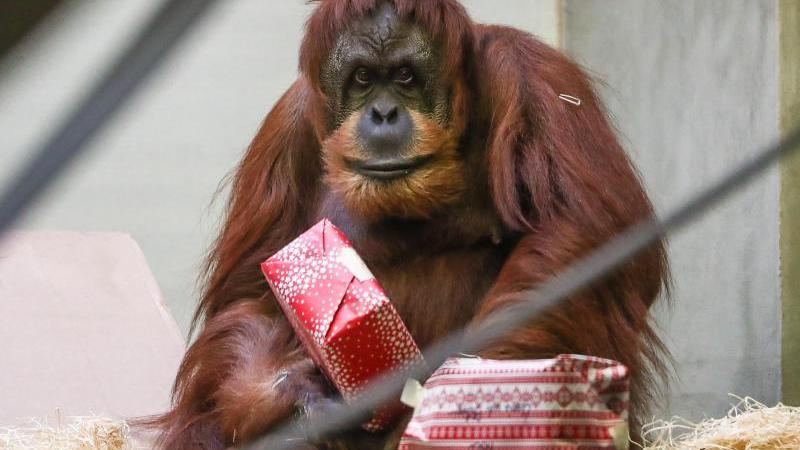 Affen der Wilhelma bekommen Geschenke. Foto: Christoph Schmidt/dpa