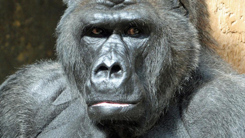 Seit 1975 lebte Gorilla Massa im Krefelder Zoo.