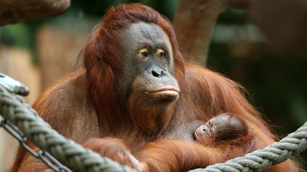 ARCHIV - 07.12.2016, Nordrhein-Westfalen, Krefeld: Das Orang-Utan Baby «Suria» klammert sich im Zoo in Krefeld (Nordrhein-Westfalen) an seine Mutter «Lea». Das neue Jahr hat im Krefelder Zoo mit einer Tragödie begonnen: Das Affenhaus brannte komplett