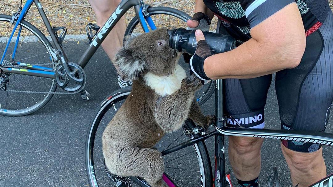 Koalas sind eigentlich scheue Tiere. Die aktuelle Hitzewelle lässt sie auch Wasser aus der Flasche eines Fahrradfahrers trinken.