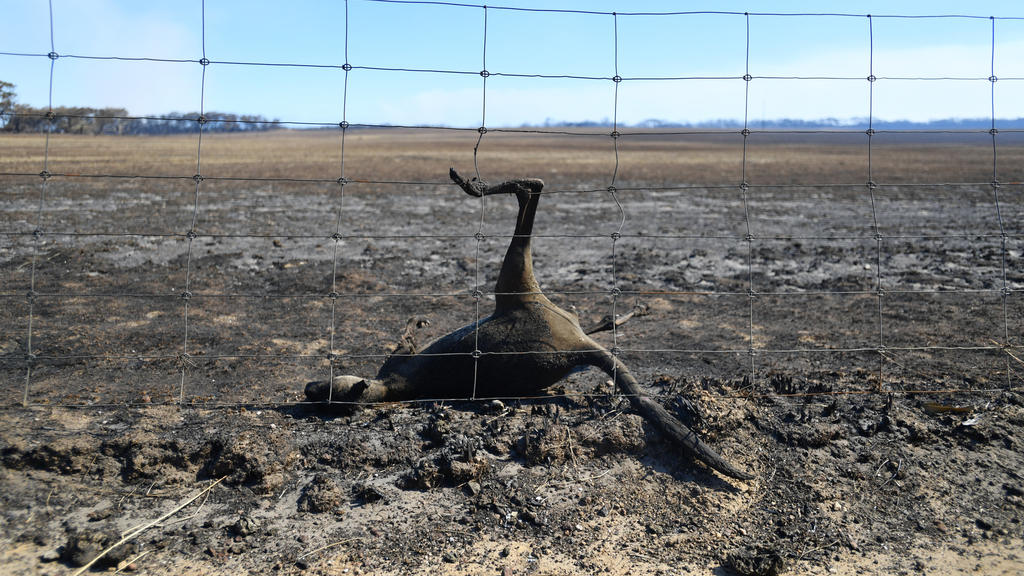 dpatopbilder - 06.01.2020, Australien, Kangaroo Island: Ein totes Känguru hängt nach den Buschfeuern in einem Zaun fest. Hunderte Millionen Tiere sind nach vorsichtigen Schätzungen von Wissenschaftlern allein im Bundesstaat New South Wales bei den Bu