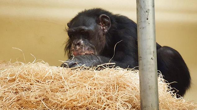 Krefelder Zoo - überlebende Schimpanse