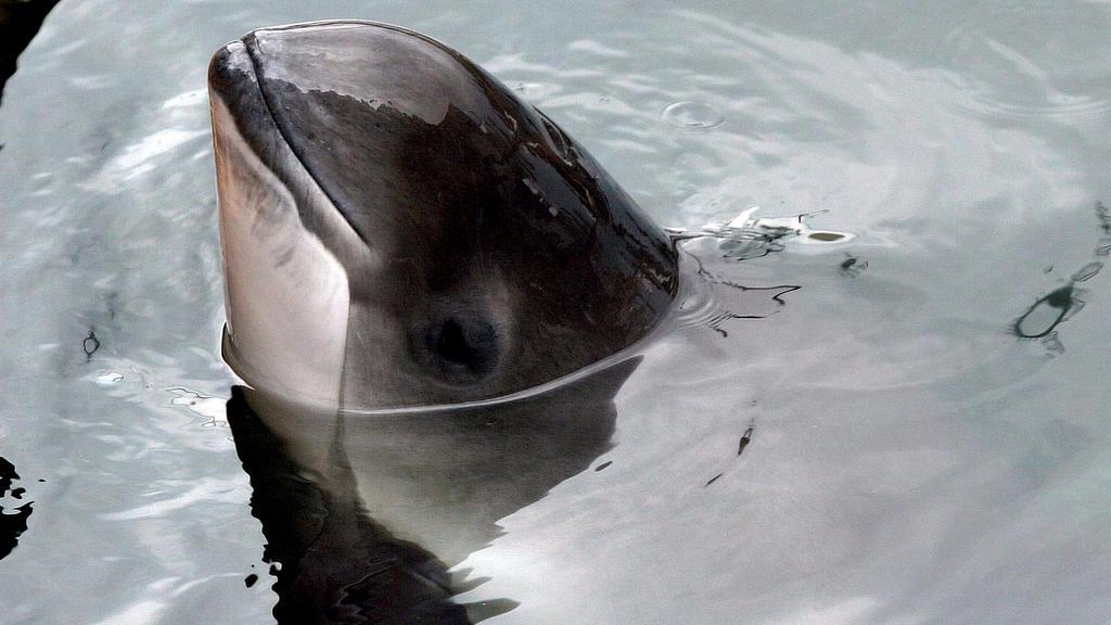 Schweinswal in der Ostsee