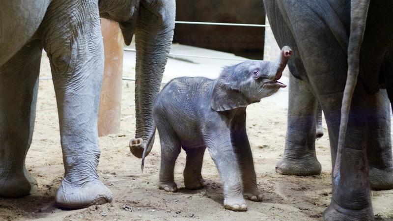 Na, da freut sich jemand auf der Welt zu sein! Der noch namenlose Jungbulle hat seine eigene Geburt scheinbar gut überstanden.