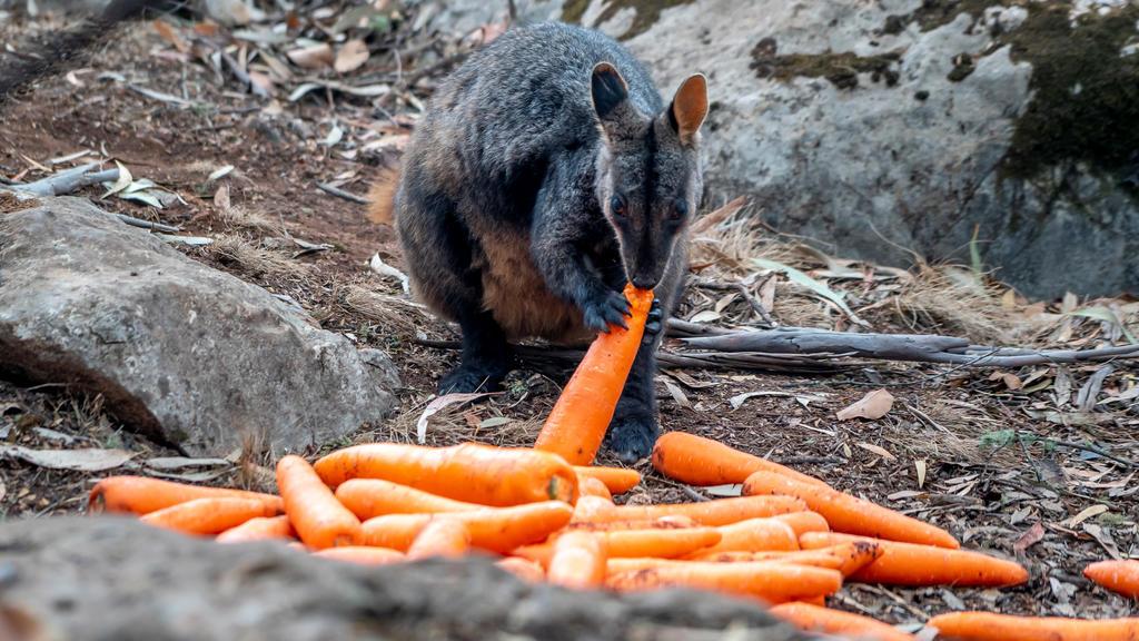 Ein Wallaby frisst eine der abgeworfenen Karotten.