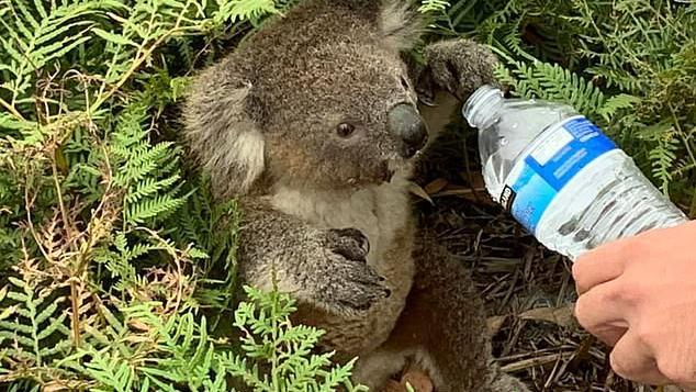Damian Campbell-Davys reicht Koala Wasser