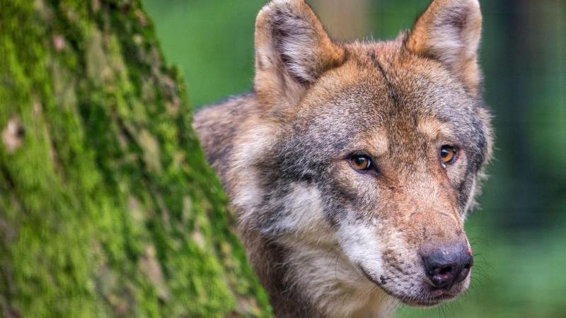 Ein Wolf schaut hinter einem Baum hervor. Foto: Lino Mirgeler/dpa/Archivbild