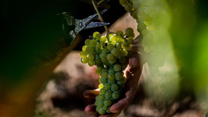 Eine Weinrebe hängt am Weinberg. Foto: Andreas Arnold/dpa