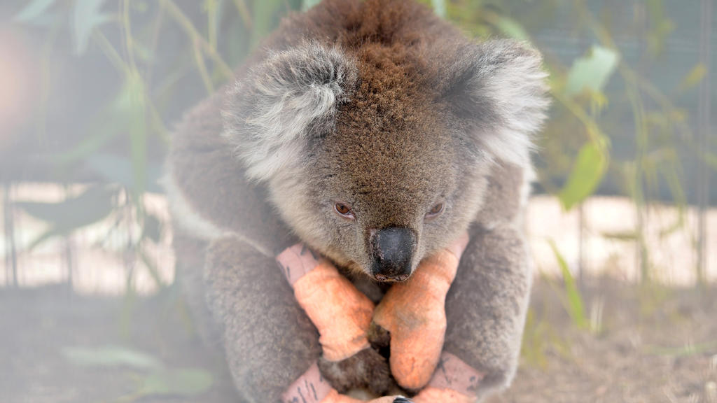 An injured koala sits at the Kangaroo Island Wildlife Park, at the Wildlife Emergency Response Centre in Parndana, Kangaroo Island, Australia January 19, 2020. REUTERS/Tracey Nearmy     TPX IMAGES OF THE DAY