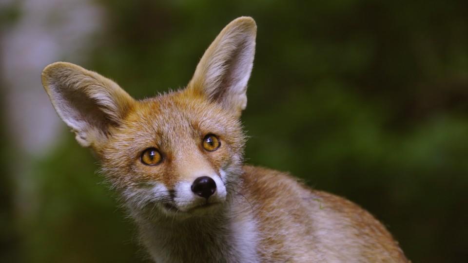 In Oberfranken haben Polizisten einen verletzten Fuchs überfahren.  (Symbolbild)