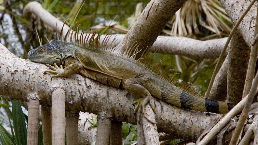 Green Iguana Iguana iguana. Fairchild Gardens, Miami, Florida, USA. Introduced from Central and South America. PUBLICATIONxINxGERxSUIxAUTxONLY Copyright: AlanxJ.xS.xWeaving 10863817