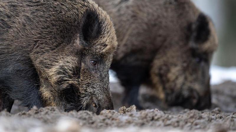 Zwei Wildschweine steht auf einem Plateau. Foto: Lino Mirgeler/dpa