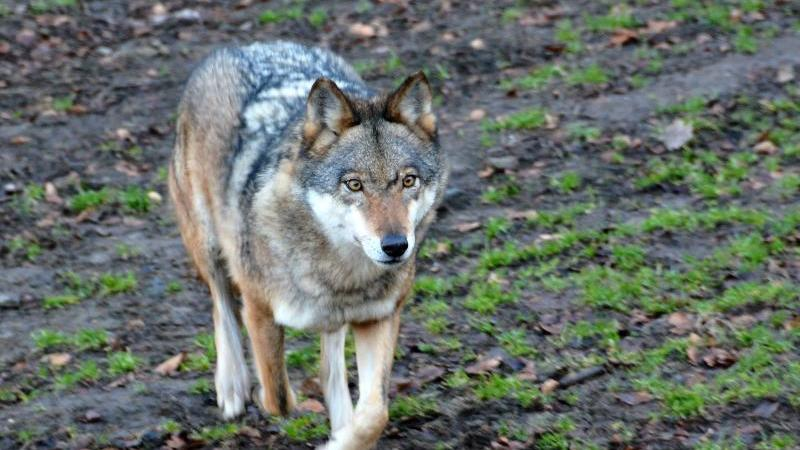 """Ein Wolf läuft durch das Gehege des """"Wildparks Knüll"""". Foto: Jörn Perske/dpa/Archiv"""