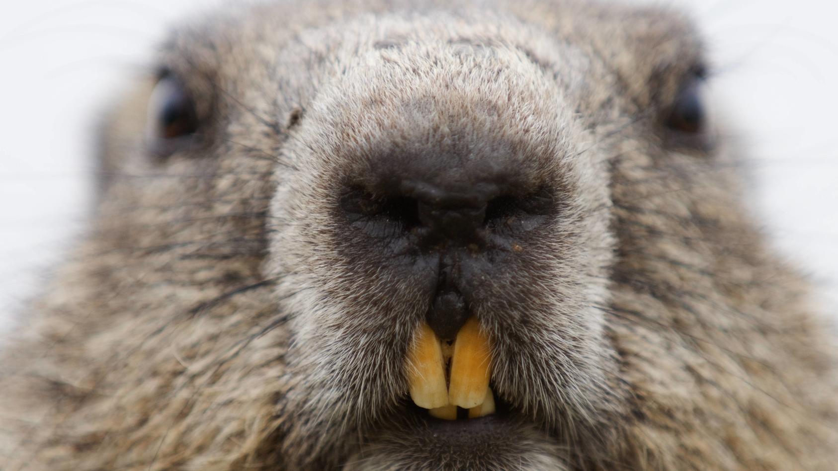 Alpine marmot (Marmota marmota) close up Hohe Tauern National Park, Austria, July PUBLICATIONxINxGERxSUIxAUTxONLY 13976