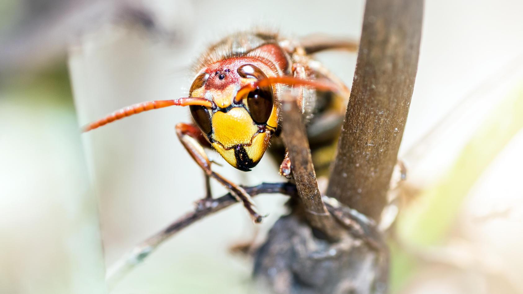 Die Asiatische Hornisse verhält sich Honigbienen gegenüber aggressiv und gilt als klimatolerant und schnell invasiv.