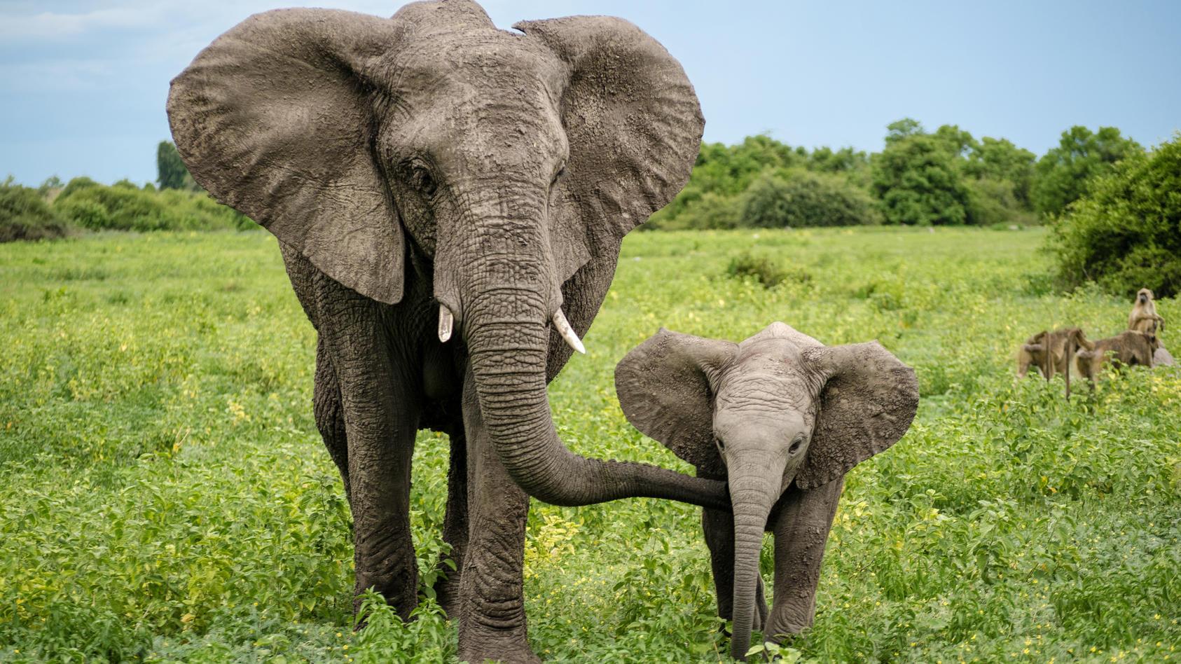Afrika habe laut WWF in nur einem Jahrzehnt über 100.000 seiner Elefanten verloren.