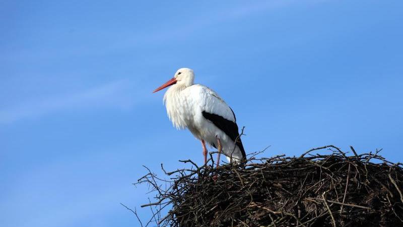 ILLUSTRATION - Ein Storch steht in seinem Nest. Foto: Bernd Wüstneck/zb/dpa