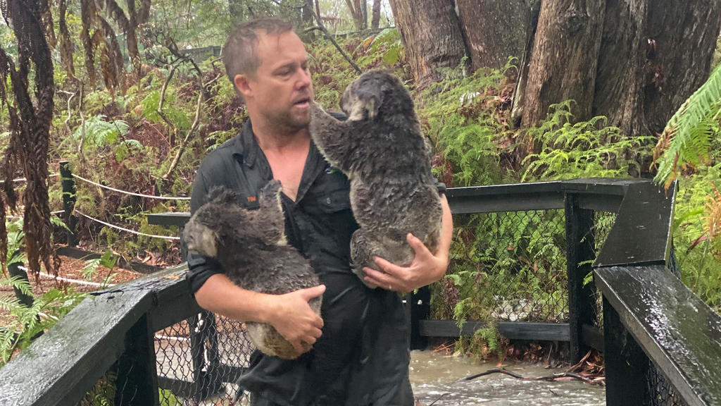 A supplied image shows park staff moving koalas to drier enclosures during a flash-flood at the Australian Reptile Park in Somersby, NSW, Australia, January 17, 2020.   Mandatory credit AAP Image/Supplied by the Australian Reptile Park/via REUTERS