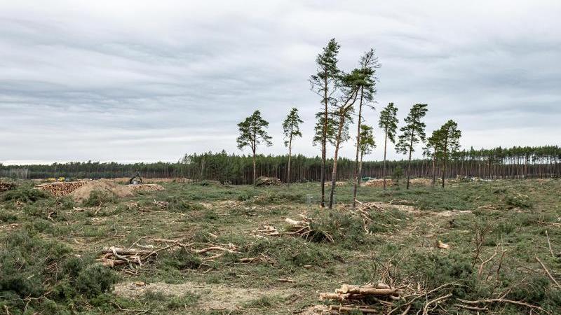 Einzelne Bäume stehen noch auf dem Gelände für das zukünftige Tesla Werk in Grünheide. Foto: Fabian Sommer/dpa