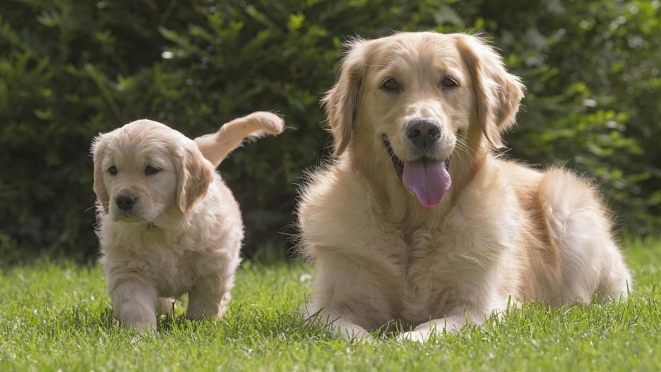 Ein ausgewachsener Golden Retriever und ein Golden Retriever Welpe auf einer Wiese