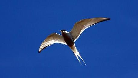 Arctic tern (Sterna paradisea). Foto:  MAURI RAUTKARI +++(c) dpa - Report+++, Arctic tern (Sterna paradisea). Foto:  MAURI RAUTKARI +++(c) dpa - Report+++
