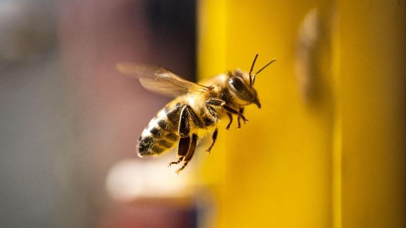 Eine Biene kehrt im Sonnenschein in ihren Stock zurück. Foto: Frank Rumpenhorst/dpa/Symbolbild