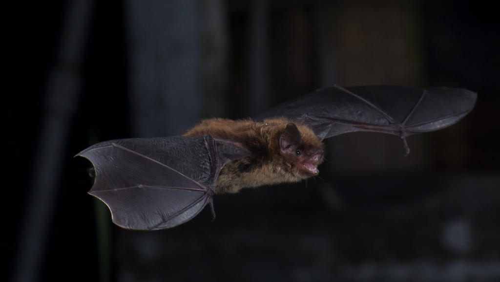 Little brown bat (Myotis lucifugus) in Salmonier, Newfoundland, Canada.