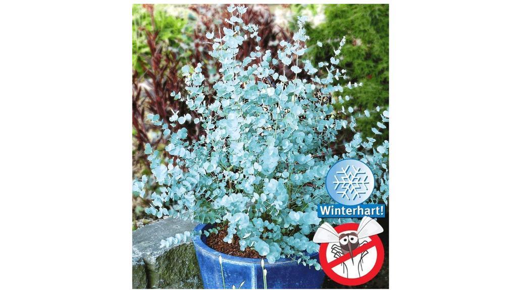 Blaugummibaum von Baldur Garten.