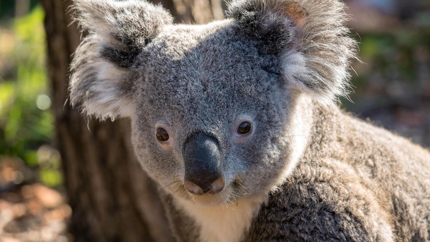 Koala-Männchen Milo ist im Zoo von Zürich an einer Virusinfektion gestorben.