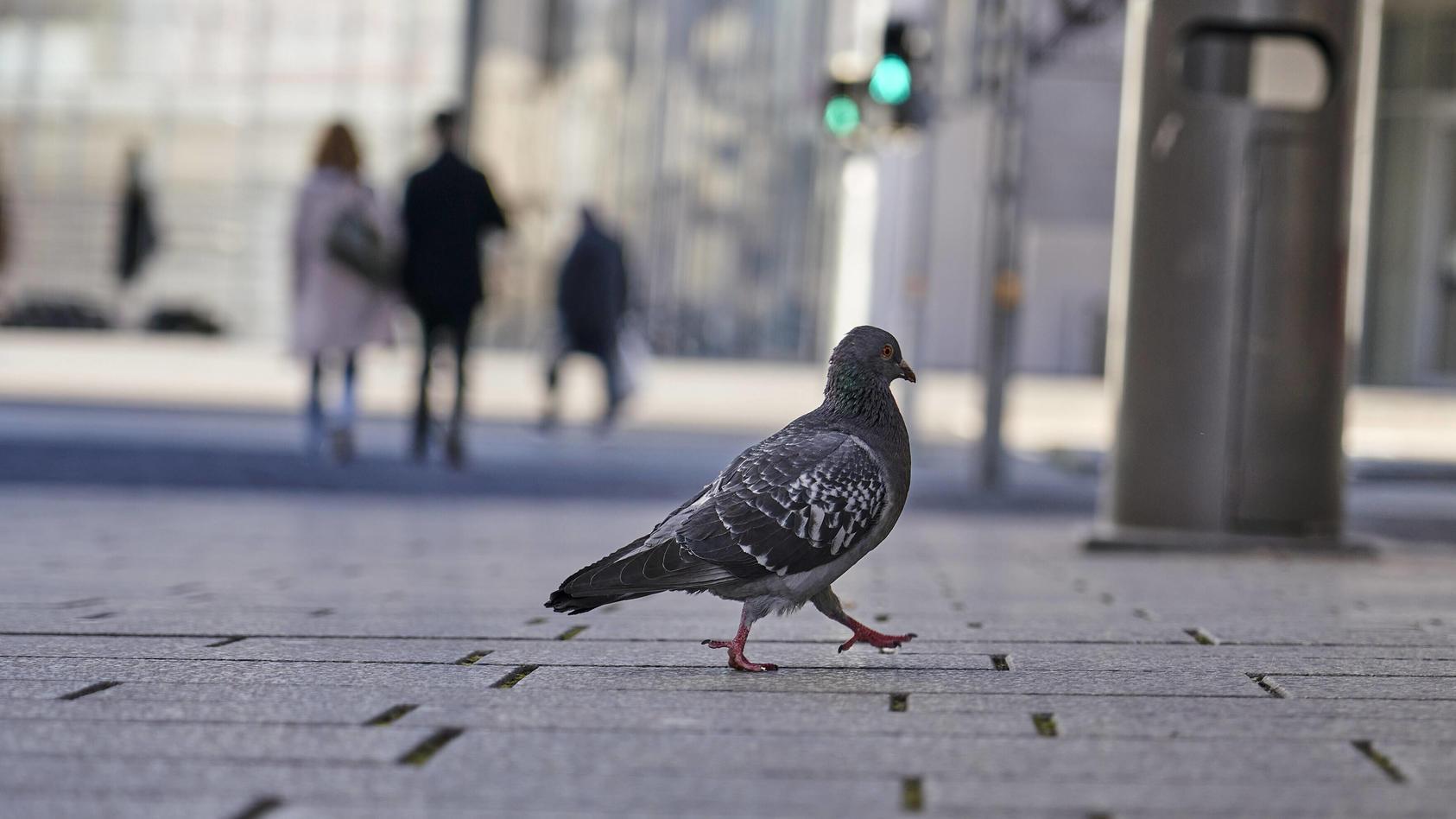 Der Deutsche Tierschutzbund befürchtet, dass tausende Tauben verhungern, da weniger Essensreste auf den Straßen landen.