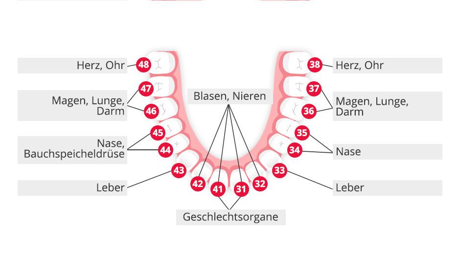 Zahn-Organ-Beziehungen